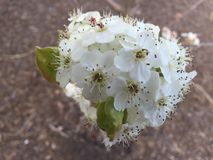 Blossoms on a tree. White blossoms on a tree Stock Photography