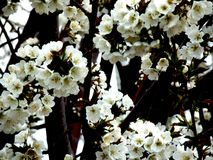 Blossoms Royalty Free Stock Image