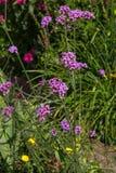 Blossoms of Verbena. Royalty Free Stock Photos