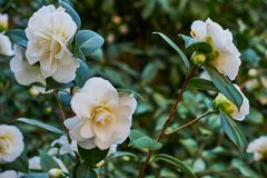 White camellia blooming on a green bush royalty free stock photos