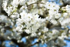 White cherry blossoms and blue sky in spring Royalty Free Stock Photography