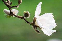 Blossoms of white flowering magnolia tree Royalty Free Stock Photos