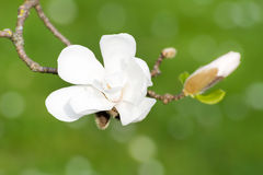 Blossoms of white flowering magnolia tree Stock Image