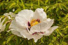 Flower Paeonia suffruticosa with drops of dew. Blossoms white Paeonia suffruticosa variety Anastasia Sosnowiec with drops of dew Royalty Free Stock Photos