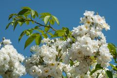 Blossoms of a white rambler rose on a sunny day in spring. Blue sky in the background Stock Image