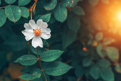 The blossoms of wild roses. Royalty Free Stock Image