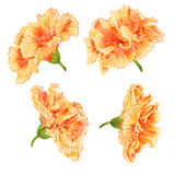 Blossoms yellow hibiscus vector Royalty Free Stock Images