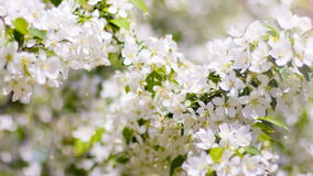 Blossoms stock footage