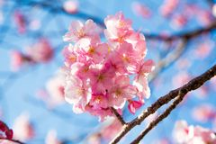 Blossomu Ιαπωνία κερασιών Στοκ Εικόνα