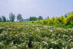 Blossomy countryside in sunny summer Royalty Free Stock Photos