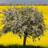 Blossomy tree and yellow field. Blossomy tree on yellow field background Royalty Free Stock Photo