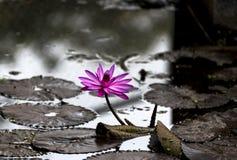 Blosson et feuilles roses de Lotus dans l'étang à Rajkot, Goudjerate, Inde Images libres de droits
