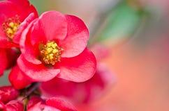 Blosson Reb на завтрак-обеде Стоковое Изображение