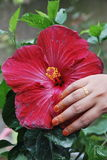 Blosson Red Hibiscus Flower Royalty Free Stock Photos
