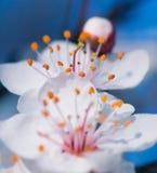 blossonms κεράσι στοκ εικόνες
