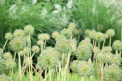 Blossum del allium Fotos de archivo