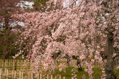 blossum rosado hermoso de la cereza foto de archivo libre de regalías