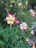 Blossums aquilégia cor-de-rosa Foto de Stock