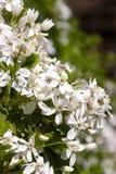 Blossums blancos del ternata del choisya Foto de archivo