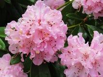 Blossums rose sur d'arbre la fin belle Image libre de droits