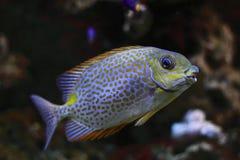blotch rabbitfish kolor żółty Obraz Stock