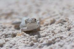 blotched蜥蜴墨西哥新的沙子端白色 库存图片