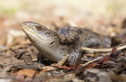 Blotched blue tongue skink (Tiliqua nigrolutea). A healthy adult blue tongue skink looks around inquisitively as it patrols a dried creek bed in Victoria royalty free stock images