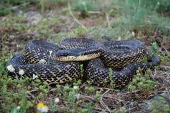 Blotched蛇(Elaphe sauromates) 图库摄影
