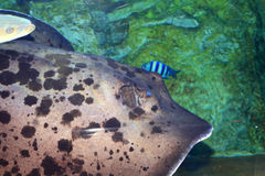 Blotched fantail ray Royalty Free Stock Image