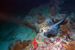 The blotched fantail ray (Taeniura meyeni), Maldives Stock Images