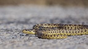 Blotched Ratsnake Sunbathing on Road. Blotched Ratsnake, Elaphe sauromates, is sunbathing on asphalt road royalty free stock images