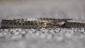 Blotched Ratsnake on Road. Blotched Ratsnake, Elaphe sauromates, is crawling on road stock images