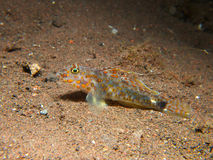 Blotched Sand Goby Royalty Free Stock Images