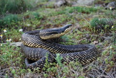Blotched Snake (Elaphe sauromates) Stock Photo