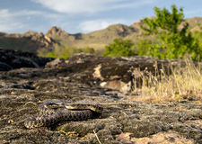 Blotched snake. (Elaphe sauromates) in its natural habitat royalty free stock photo