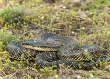 Blotched snake. Full-body shot of a blotched snake royalty free stock photography