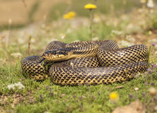 Blotched snake. Full body shot of a blotched snake (Elaphe sauromates) in its natural habitat royalty free stock photography