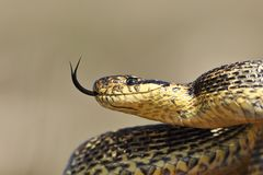 Blotched snake portrait. Beautiful adult blotched snake portrait Elaphe sauromates stock photo