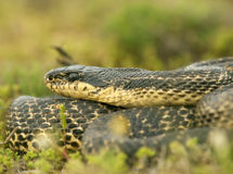 Blotched snake Stock Photography