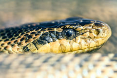 Blotched snake Stock Photo