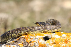 Blotched snake preparing to strike. While basking on a rock Elaphe sauromates royalty free stock photos