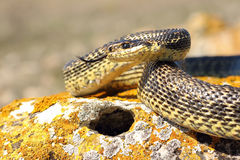 Blotched snake ready to attack Royalty Free Stock Image