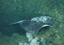 Blotched stingray. (taeniura meyeni) - Komodo national park, Flores, Indonesia stock photo