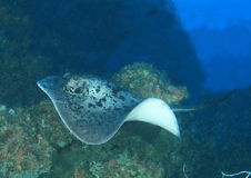 Blotched stingray. (taeniura meyeni) - Komodo national park, Flores, Indonesia royalty free stock images