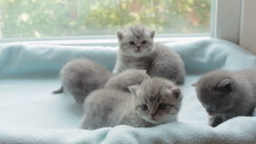 Blotched tabby kittens breed Scottish Fold. Funny Blotched tabby kittens breed Scottish Fold stock video