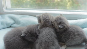 Blotched tabby kittens breed Scottish Fold. Funny Blotched tabby kittens breed Scottish Fold stock footage