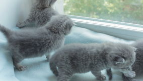 Blotched tabby kittens breed Scottish Fold. stock video