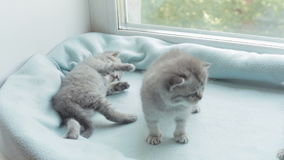 Blotched tabby kittens breed Scottish Fold. stock video footage