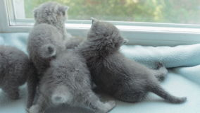 Blotched tabby kittens breed Scottish Fold. stock footage