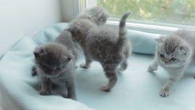 Blotched tabby kittens breed Scottish Fold. Funny Blotched tabby kittens breed Scottish Fold stock video footage